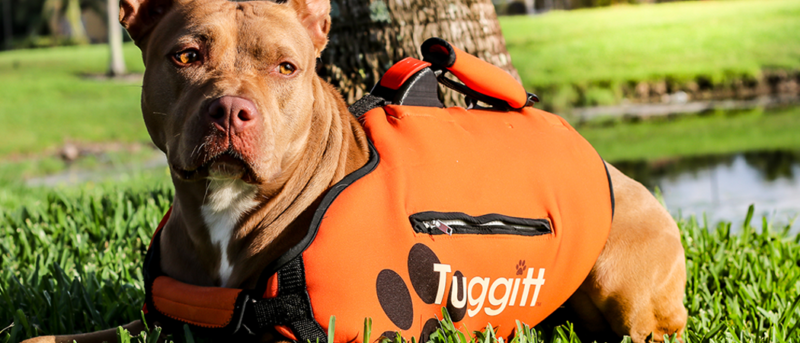 Tuggit dog harness prototype on a pit bull dog in a south florida park novelty product
